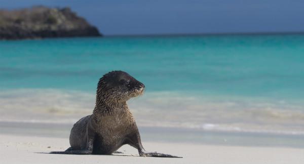 Galapagos Island Baby Sea Lion