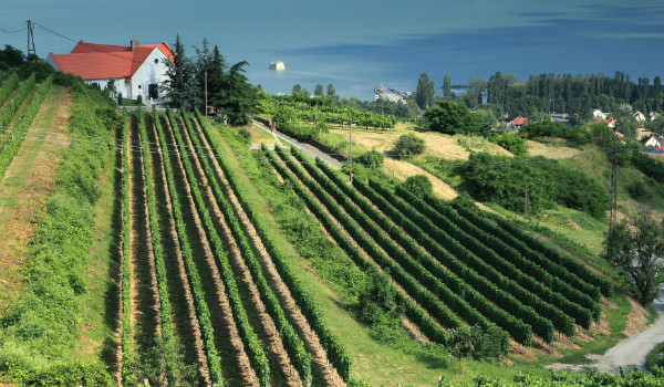Vineyard in Badacsony, Hungary (Shutterstock.com)