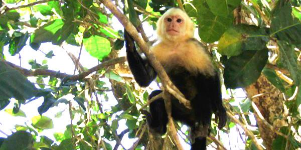 Capuchin Monkey (Anna Tabakh)