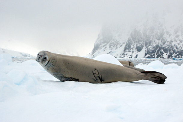 Elephant Seal in Antarctica