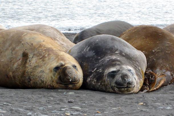Elephant Seals in Antarctica