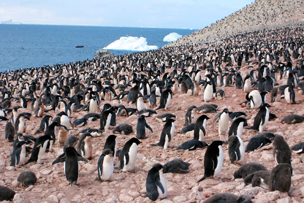 fly antarctica penguins Paulet Island  610x407  Photos from My Trip to Antarctica