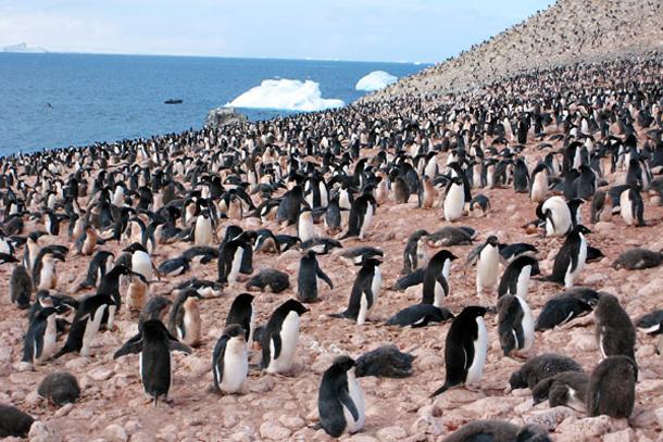 Penguins on Paulet Island