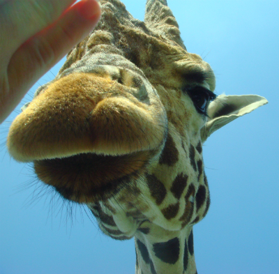 Giraffe at West Midlands Safari Park: Watch your fingers!
