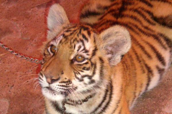 Tiger at Puerto Vallarta Zoo