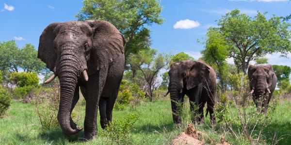 Elephants in Kruger National Park