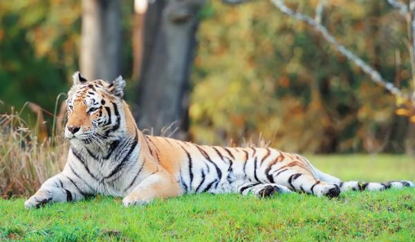 Tiger in Animal Kingdom (Shutterstock.com)