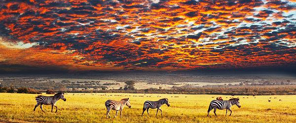 Zebras at Sunset Featured (Shutterstock.com)