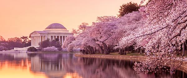 Jefferson Memorial during the Cherry Blossom Festival Featured (Shutterstock.com)