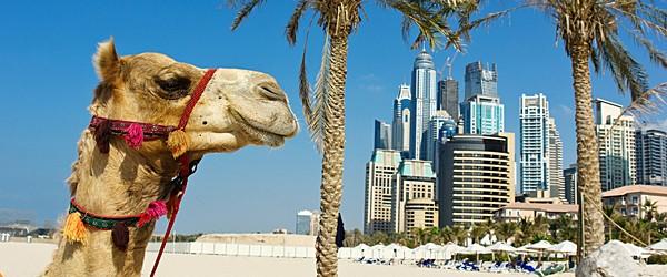 Camel in Dubai Featured (Shutterstock.com)
