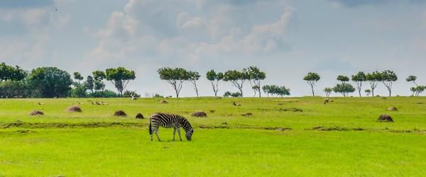Johannesburg_Zebra in South Africa (Shutterstock.com)